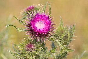 Bloemen | Knikkende distel in de lente op Texel van