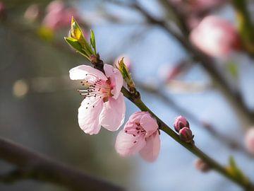 Blüte von Tomas S.