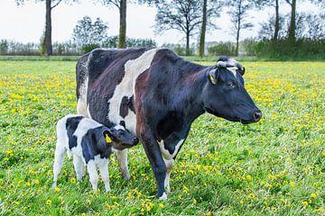 Een pasgeboren kalfje loopt naast zwartbonte koe in Nederlandse weide van Ben Schonewille