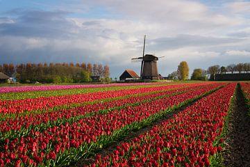 Rangées colorées de tulipes en face d'un moulin à vent sur iPics Photography