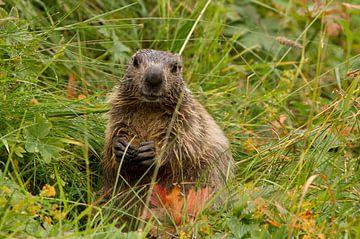 Marmot in het natte gras in de Pyreneeën