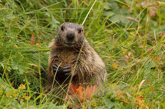 Marmot in het natte gras in de Pyreneeën van Paul Wendels