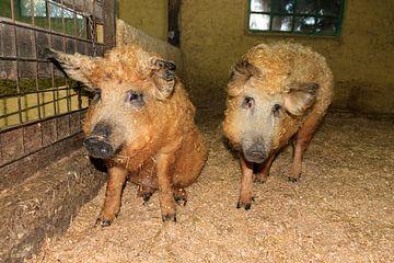 Twee Mangalitsa wolvarkens van