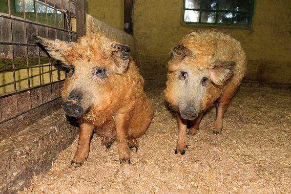 Twee Mangalitsa wolvarkens