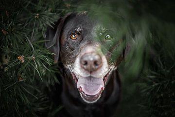 Labrador Retriever Hund versteckt zwischen den Kiefern von Lotte van Alderen