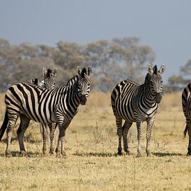 Zebra's in de Okavangodelta van Simone Meijer