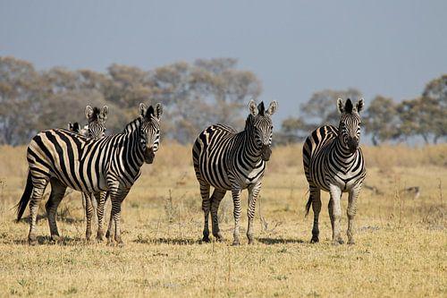 Zebra's in de Okavangodelta