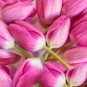 pinke Tulpen von Claudia Moeckel