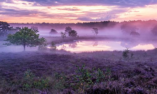 Heide in de mist - Het Bergerbos van