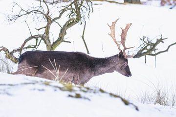 Bruin damhert met gewei in de sneeuw van Anne Zwagers