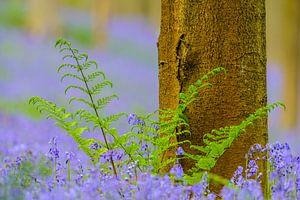 Varen, Beuk en Hyacint