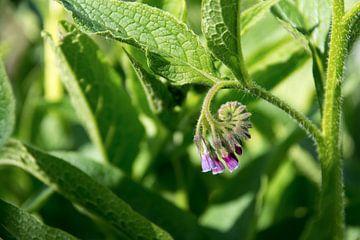 smeerwortel (Symphytum officinale), bloemen en bladeren van de plant gebruikt in de biologische gene van Maren Winter