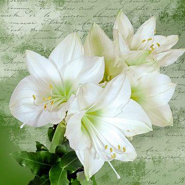 Weiße Amaryllisblüten auf grün-weißer Textur von christine b-b müller