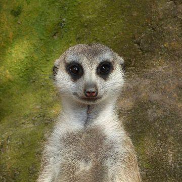 Erdmännchen, Funny Meerkat von Ralf Schroeer