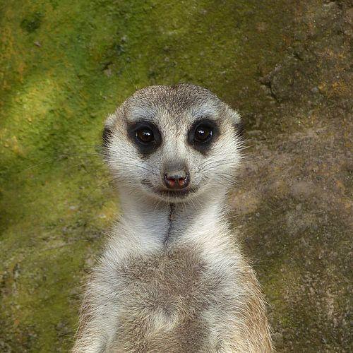 Funny Meerkat  van Ralf Schroeer