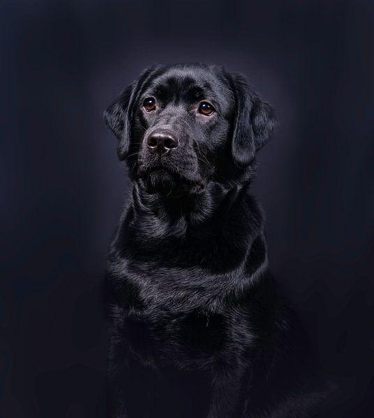 Black Labrador van Alex Hiemstra