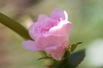 rose tendre sur