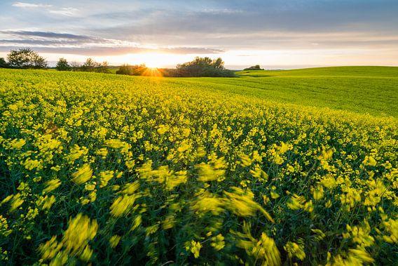 Canola Field at sunset