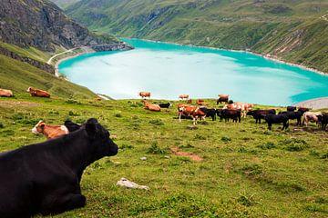 Kühe am Stausee Moiry von Steven Van Aerschot