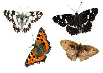 verschiedene Schmetterlingsarten auf weißen Hintergrund isoliert von Animaflora PicsStock