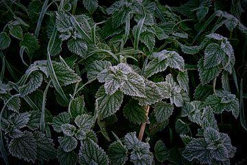 Vorst aan de grond geeft rijp op groene bladeren van Jenco van Zalk