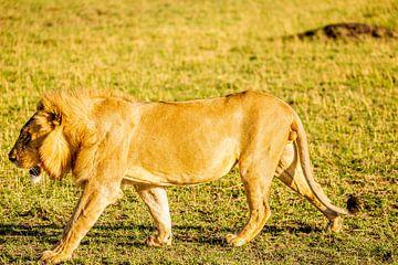 Leeuw in Masai Mara von René Holtslag