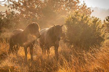 IJslandse Paarden van Simone Wind