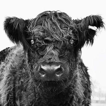Koe in het veld. von Vincent van Wijk