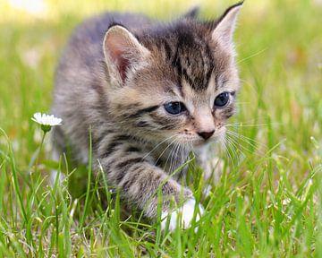 Kat på engen van
