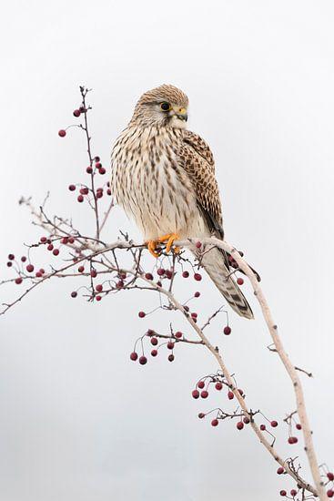 Kestrel ( Falco tinnunculus ), female adult in winter, perched on top of a bush with red berries van wunderbare Erde