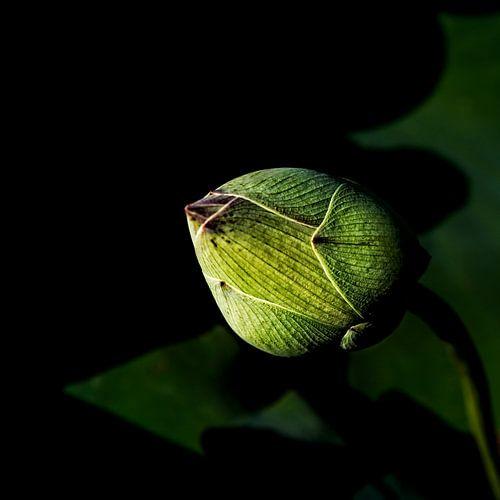 the beginning of the lotusflower