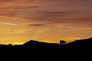 Silhouet Schotse Hooglander op Texel