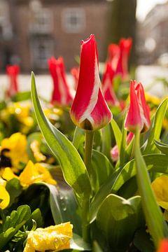 Rote und weiße Tulpen in der Stadt von FHoo