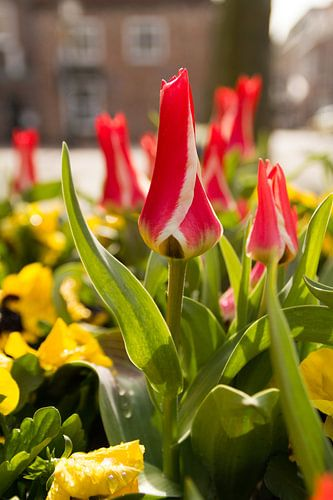 Rood witte tulpen in de stad