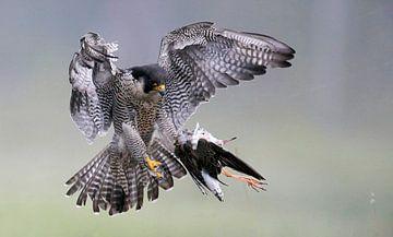 Slechtvalk (Falco peregrinus) met prooi van Beschermingswerk voor aan uw muur
