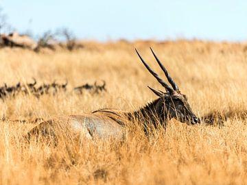 Antilope in rust van Rob Smit