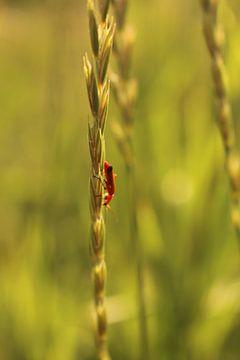 Beestje in het koren van Assia Hiemstra