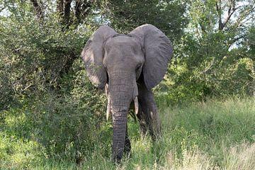 olifant in het wild van