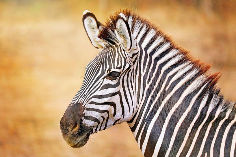 Zebra in Zambia van W. Woyke