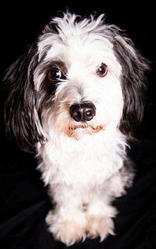 PowderPuff Hond van Evita Pierik
