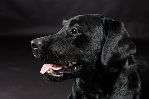 Zwarte hond, Labrador Retriever