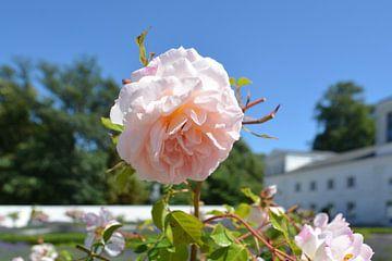 roze hoge stamrozen - Orangerie Putbus op Rügen van GH Foto & Artdesign