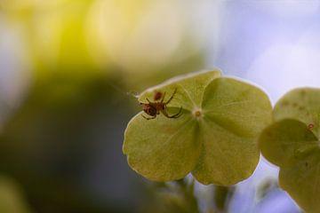 kleine Spinne von Tania Perneel