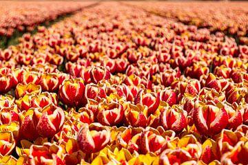 Tulpenveld in Nederland van