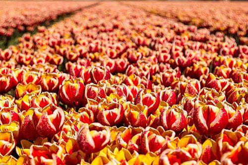 Tulpenveld in Nederland van Stefan Fokkens