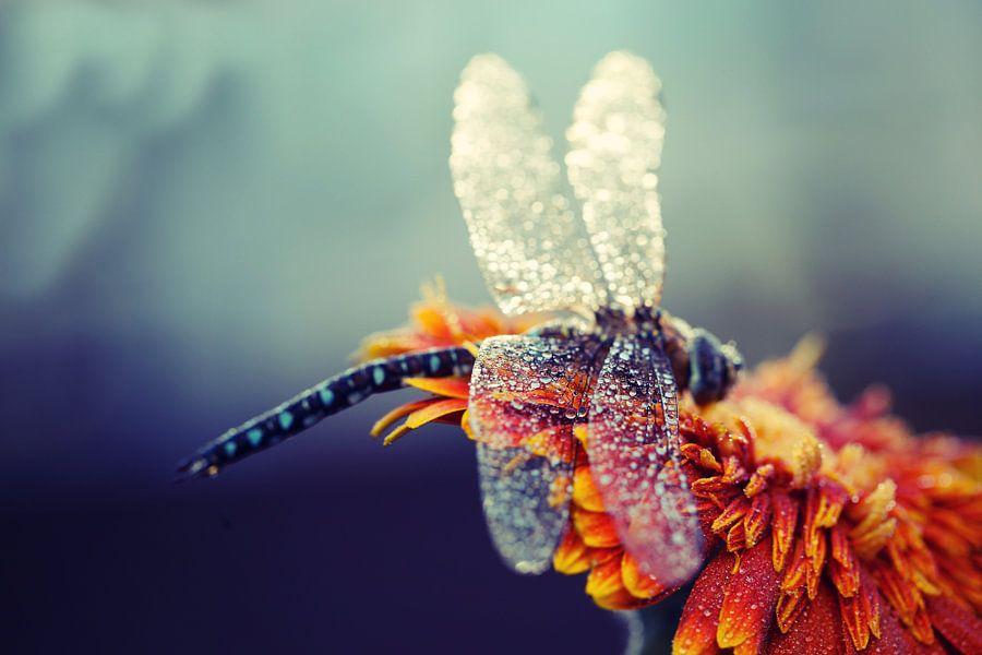 keizerlibel met regendruppels