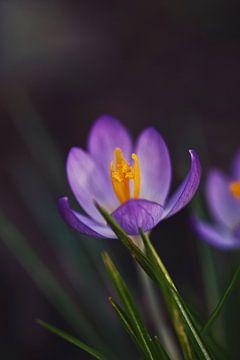 krokus, de lente komt er aan van Lindy Schenk-Smit