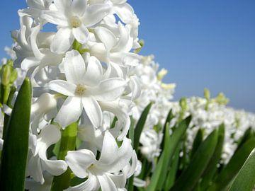 Hyacintenveld van Ton van Buuren