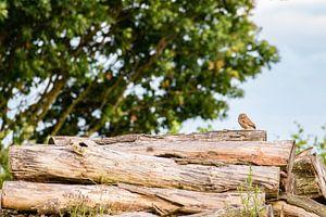 Steenuil in het landschap! van