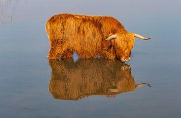 Schotse Hooglander van Roy Vrinten
